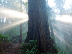 Sunrise in the Coastal Redwoods