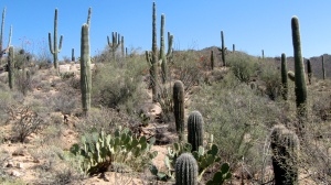 Mature Cactus in the Saguaro National Park, Arizona