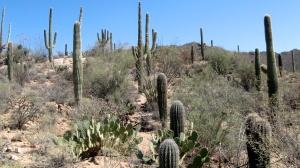 Mature Cactus in the Saguaro National Park, Arizona
