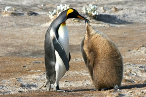 A mother King Penguin feeds her yearling on South Georgia Island.