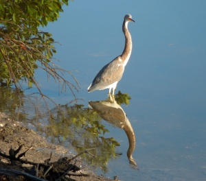 A heron checks out her reflection in the lagoon.