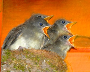 Young Eastern Phoebes getting ready to fly on their own.