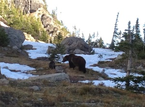 A mother Grizzly with her young pup out for an early morning stroll in Glacier National Park.