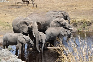 A herd of elephants stops to take a drink at a Serengeti water hole.