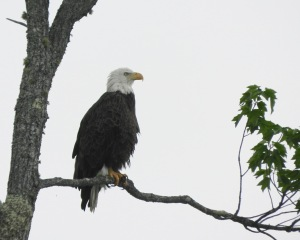 A Bald Eagle keeps watch over his territory .